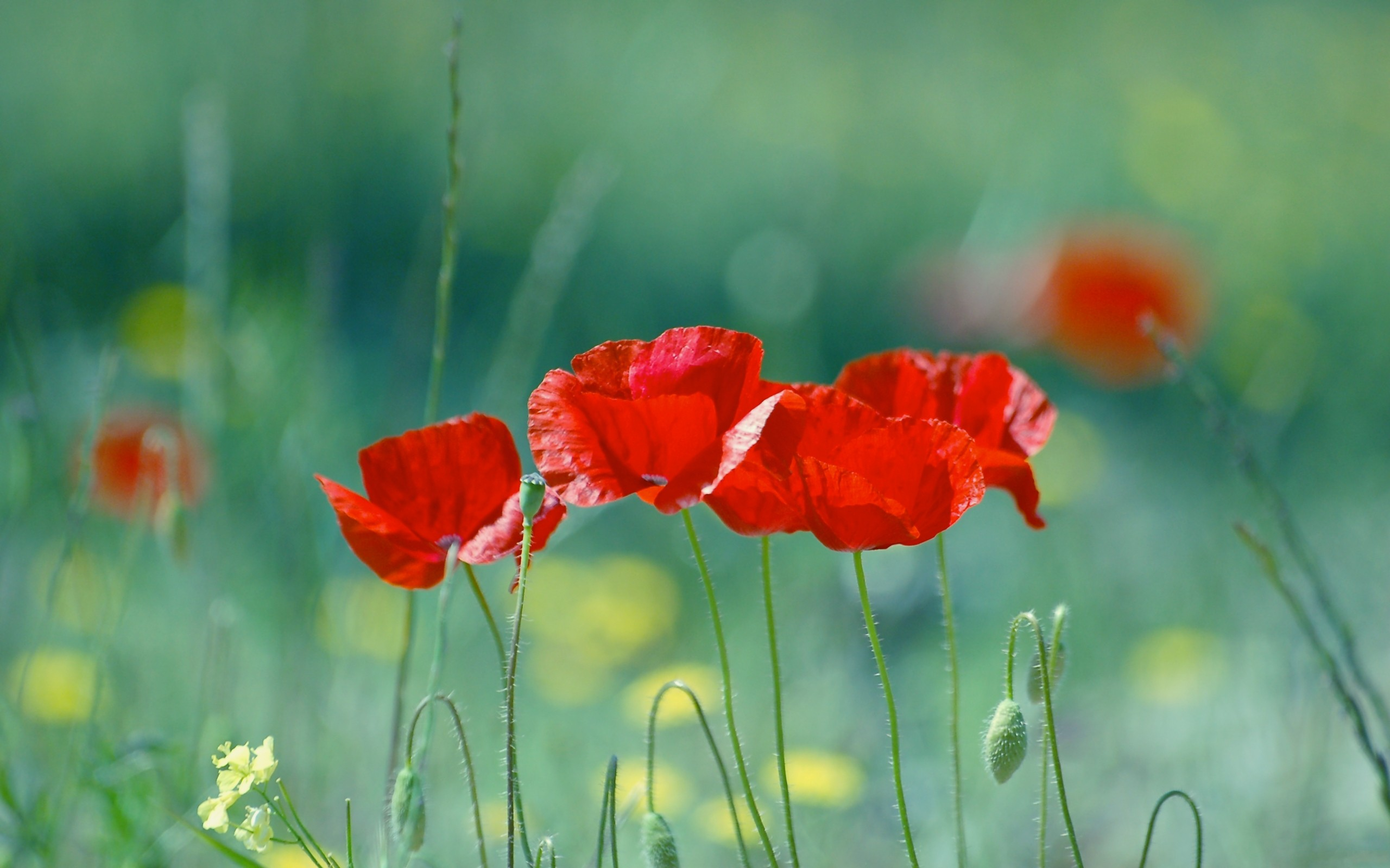 flowers, poppy, red flowers - desktop wallpaper