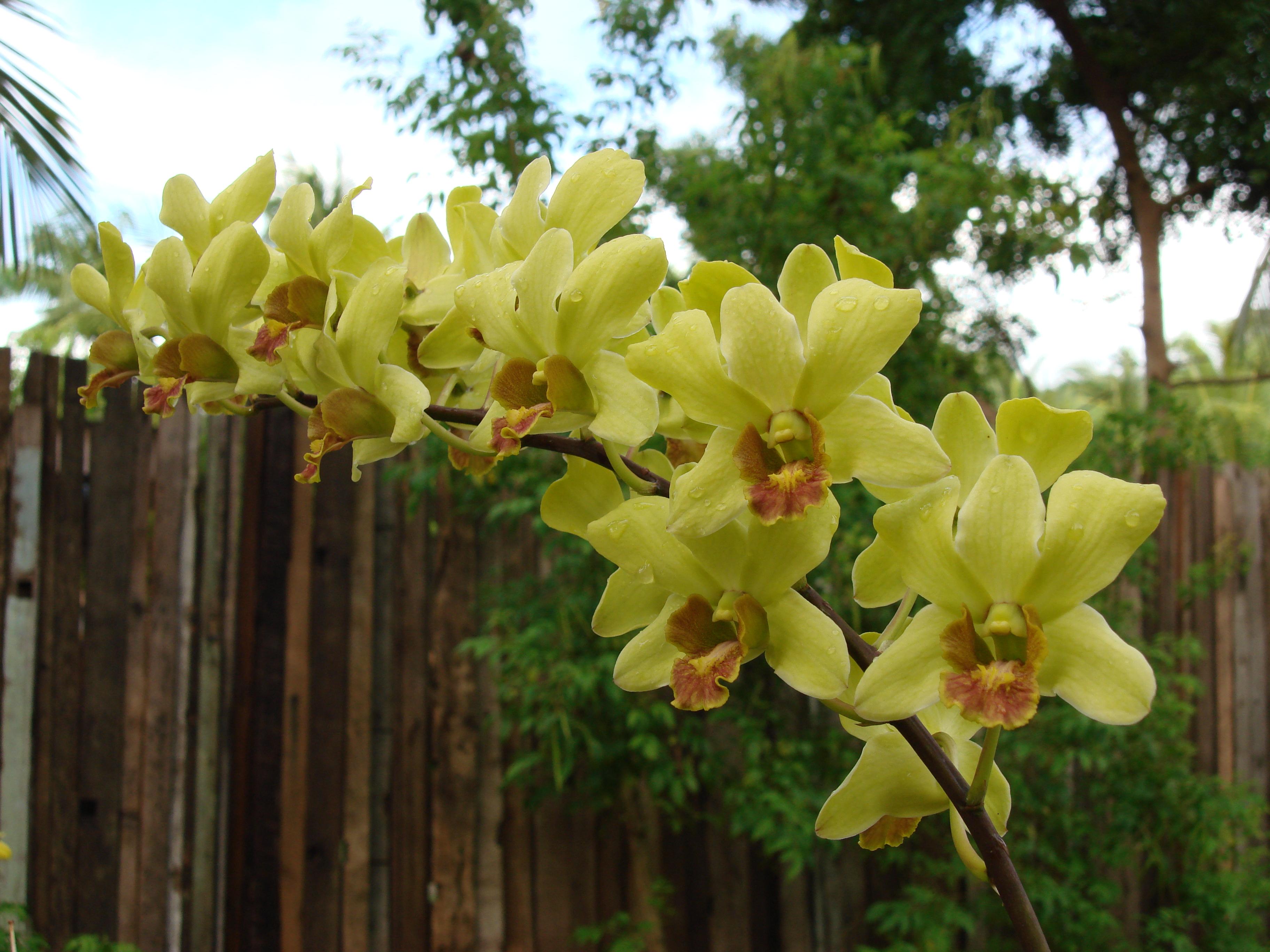 Орхидеи с желтыми цветами фото