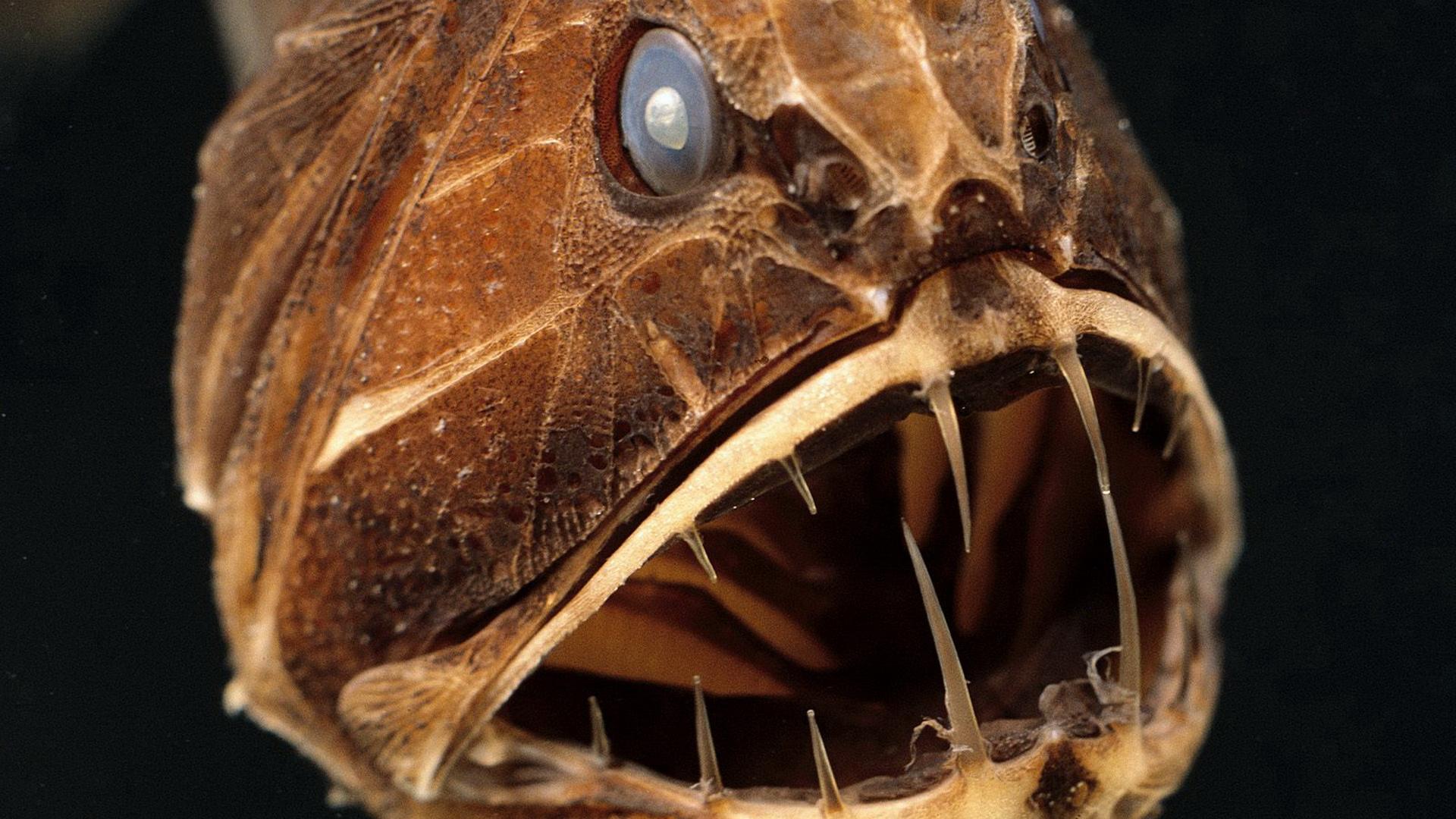 Самые страшные глубоководные рыбы фото 8 фотография