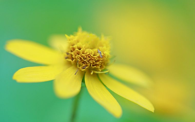nature, flowers, macro, depth of field, yellow flowers - desktop wallpaper