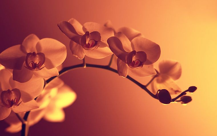 flowers, sepia, monochrome - desktop wallpaper