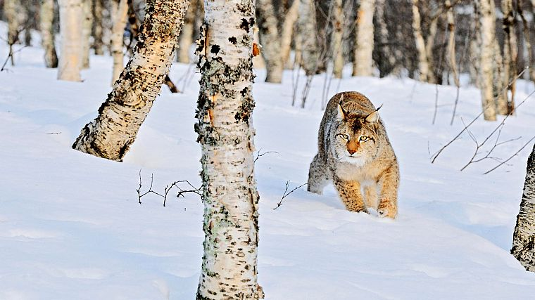 nature, snow, trees, animals, bobcats - desktop wallpaper