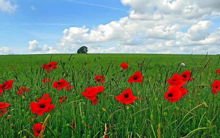 landscapes, nature, red, flowers, poppy - desktop wallpaper