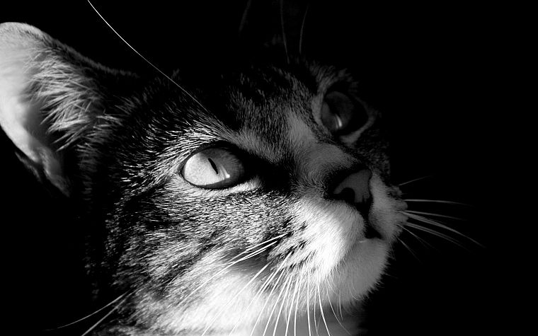 close-up, cats, animals, grayscale - desktop wallpaper