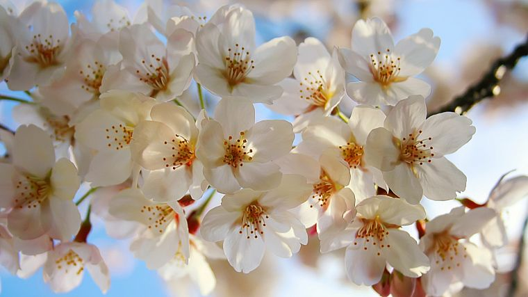 nature, flowers, white flowers - desktop wallpaper