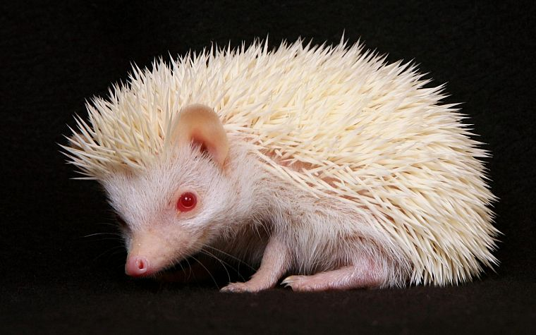 white, animals, hedgehogs, red eyes, albino - desktop wallpaper