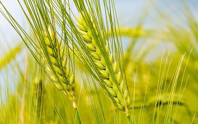 green, nature, fields, summer, wheat - desktop wallpaper