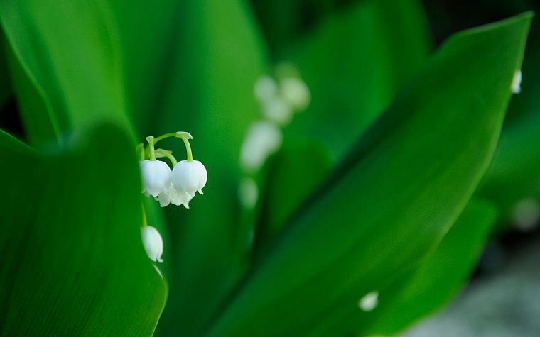 flowers, macro, lily of the valley - desktop wallpaper