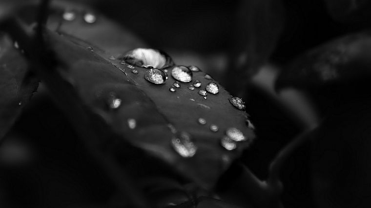 black and white, nature, leaves, water drops - desktop wallpaper