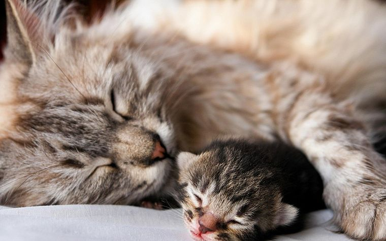 nature, cats, animals, sleeping, kittens, domestic cat - desktop wallpaper