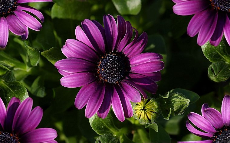 nature, flowers, daisy, purple flowers - desktop wallpaper