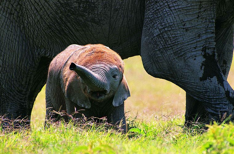 animals, wildlife, elephants, baby elephant, baby animals - desktop wallpaper