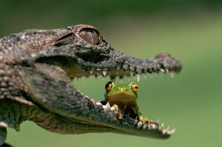 animals, frogs, crocodiles, jaws, reptiles, eating, amphibians - desktop wallpaper