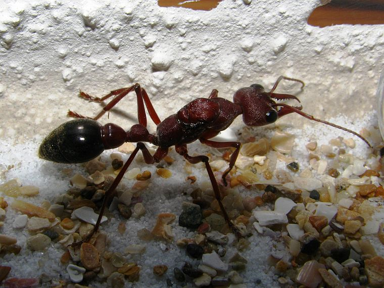 animals, insects, ants, bulldog ant - desktop wallpaper