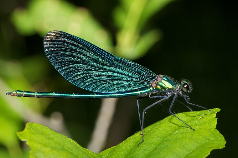 animals, insects, damselfly - desktop wallpaper