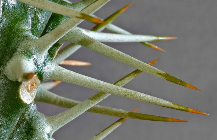 cactus, spikes, macro - desktop wallpaper