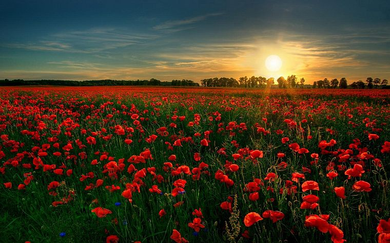 sunset, flowers, fields, poppy, red flowers - desktop wallpaper