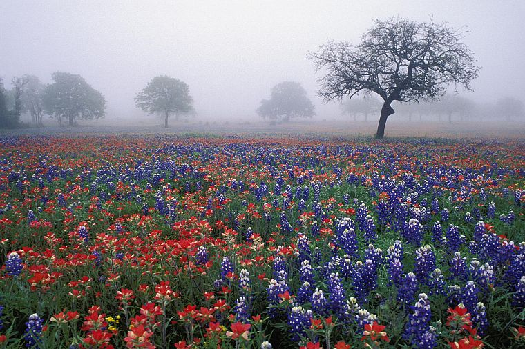 trees, flowers, fields, mist, oak, red flowers, blue flowers, Bluebonnet - desktop wallpaper