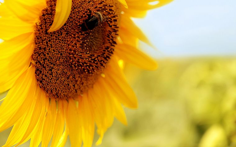 flowers, insects, bees, pollen, sunflowers, yellow flowers - desktop wallpaper