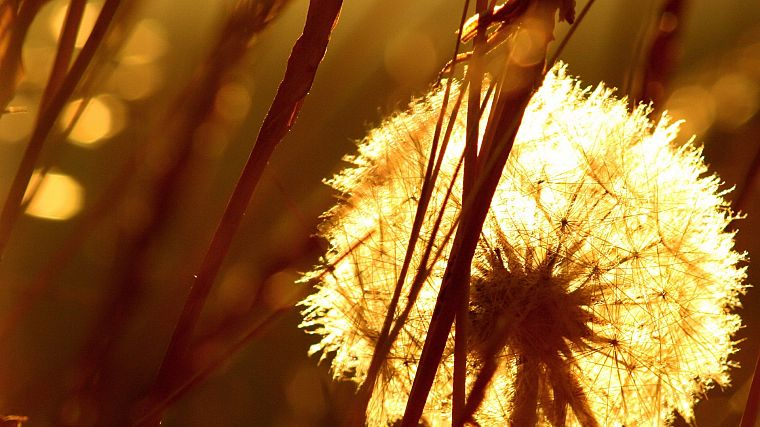 sepia, macro, dandelions, depth of field - desktop wallpaper