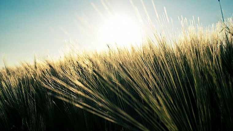 nature, grass, fields, wheat, plants - desktop wallpaper