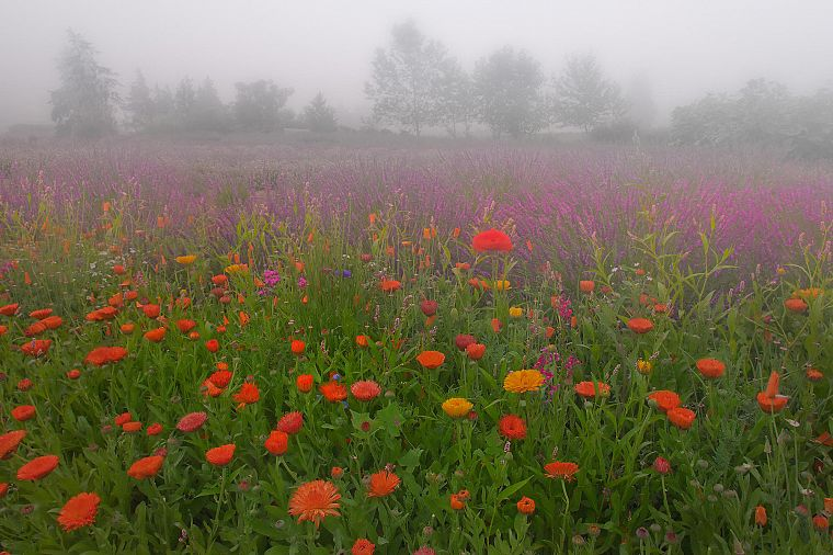 flowers, meadows, mist - desktop wallpaper
