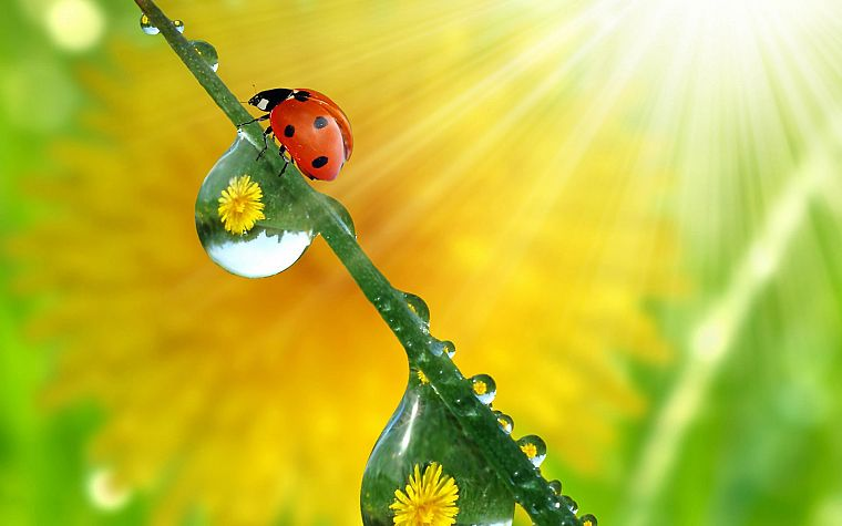 animals, ladybirds - desktop wallpaper