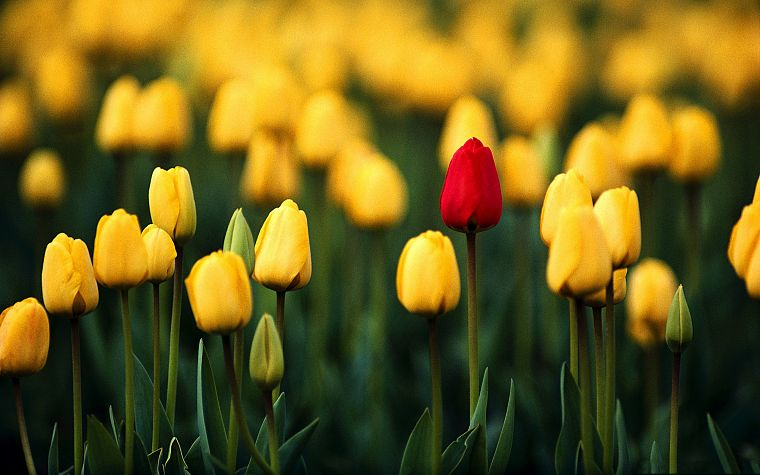 nature, flowers, tulips, macro, depth of field, yellow flowers - desktop wallpaper