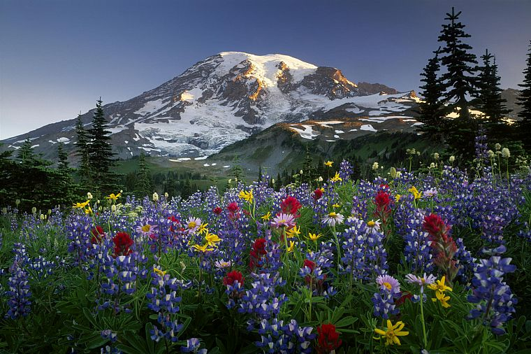 mountains, landscapes, flowers, Mount Rainier, wildflowers - desktop wallpaper