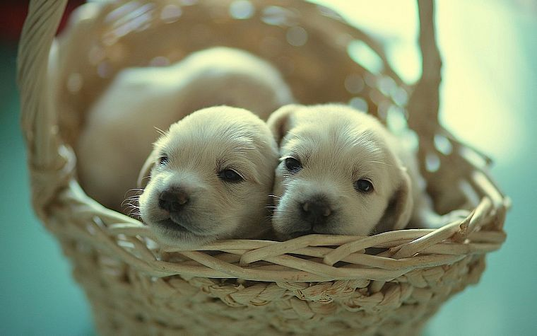 animals, puppies, baskets - desktop wallpaper