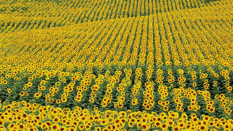 flowers, fields, plants, sunflowers - desktop wallpaper