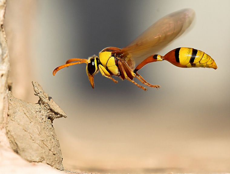 nature, wasp - desktop wallpaper