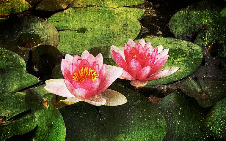 paintings, nature, flowers, artwork, lily pads, water lilies - desktop wallpaper