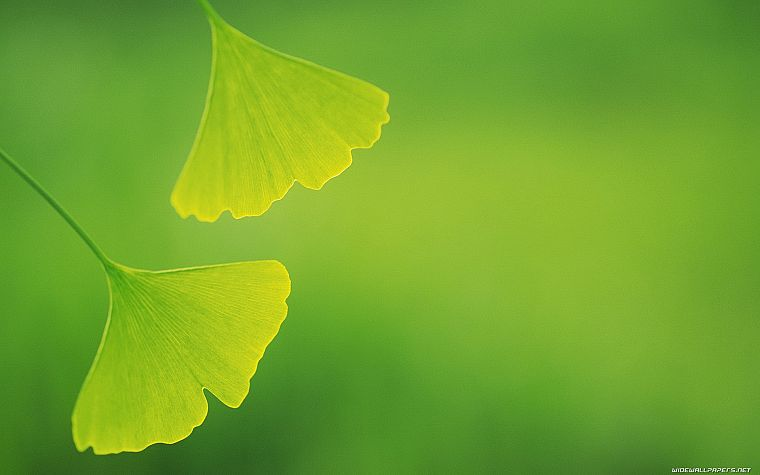 green, nature, leaves, depth of field, ginkgo - desktop wallpaper