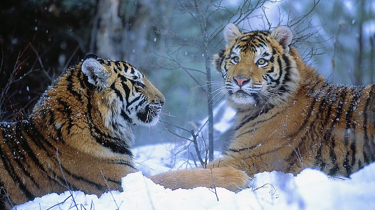 winter, China, animals, tigers - desktop wallpaper