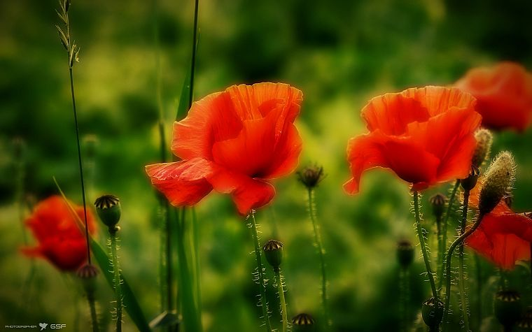 flowers, macro, poppy, depth of field - desktop wallpaper