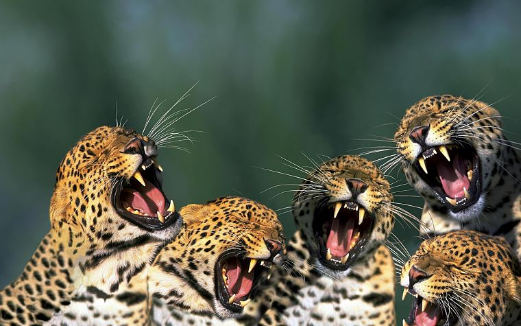 animals, open mouth, leopards - desktop wallpaper