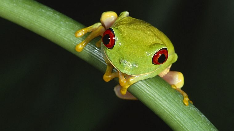 animals, frogs, macro, Red-Eyed Tree Frog, amphibians - desktop wallpaper
