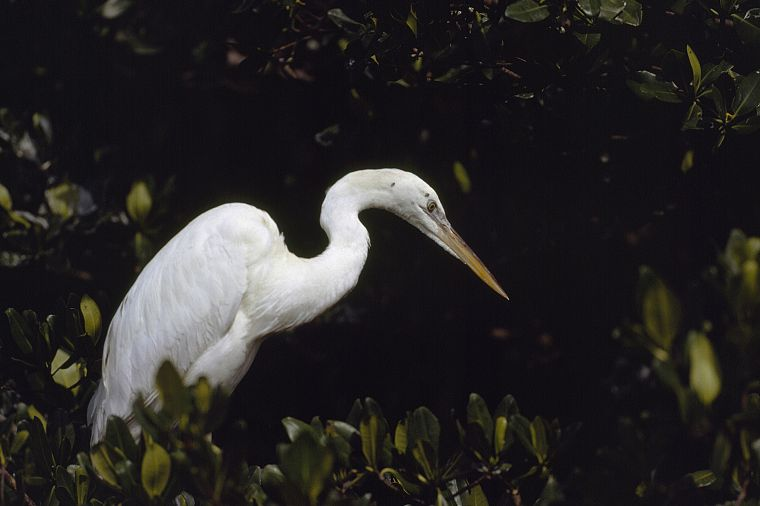 birds, Florida, National Park, snowy egret, egrets, Everglades - desktop wallpaper