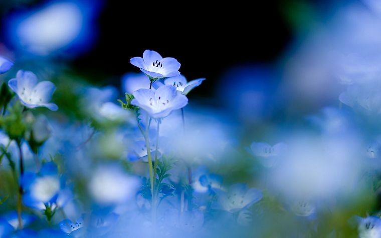 blue, nature, flowers, macro, blue flowers - desktop wallpaper
