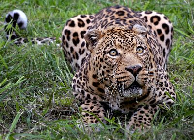 animals, outdoors, leopards - random desktop wallpaper