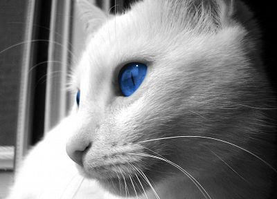 cats, blue eyes, animals - related desktop wallpaper