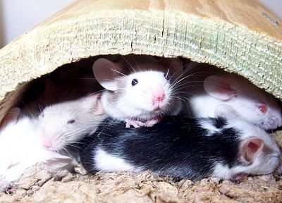 black, white, wood, animals, sleeping, bedding, mice - related desktop wallpaper