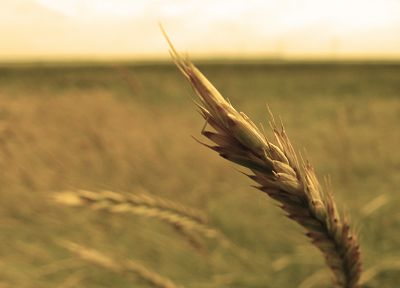 landscapes, nature, fields, crops, spikelets - related desktop wallpaper