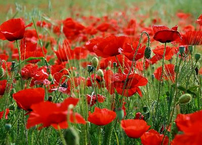 nature, flowers, fields, poppy - desktop wallpaper