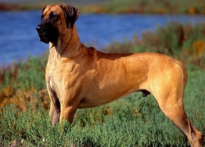 animals, dogs, canine, Mastiff, great dane - random desktop wallpaper