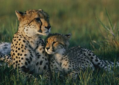 animals, cheetahs, wild cats - random desktop wallpaper