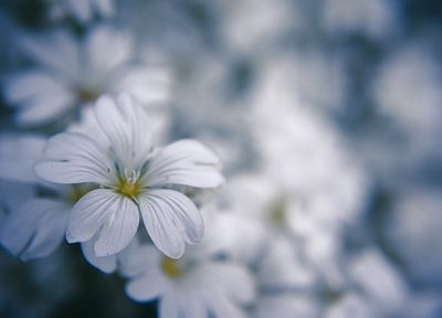 nature, flowers, macro, white flowers - related desktop wallpaper