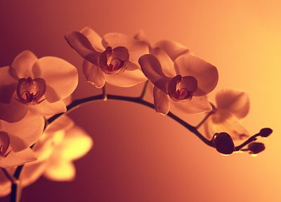 flowers, sepia, monochrome - related desktop wallpaper