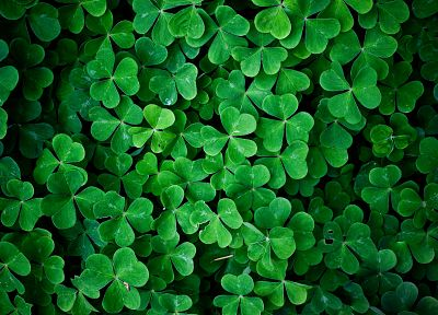 green, nature, leaf, leaves, plants, shamrock, macro, clover - related desktop wallpaper
